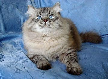 невский маскарадный кот питомник