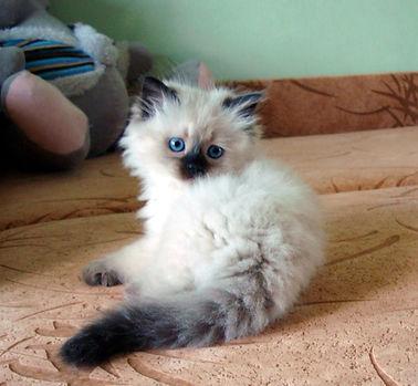 котенок сил-поинт
