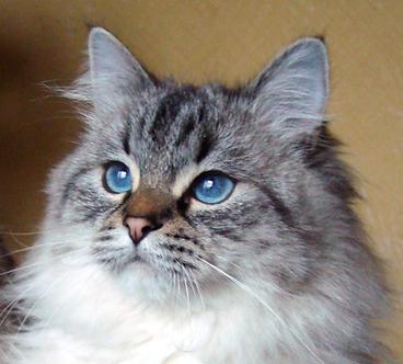 клубные невские котята