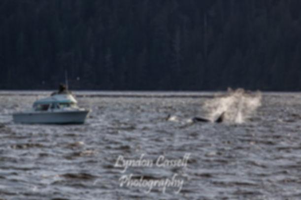 lcp-orcas-mar29-2019-2065.JPG