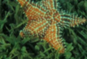 West Indian Star .JPG