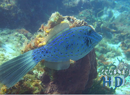 Scrawled Filefish - gentle Aluterus scriptus