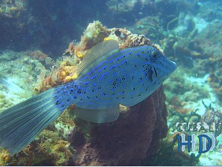 Scrawled Filefish - gentle Aluterus scriptus