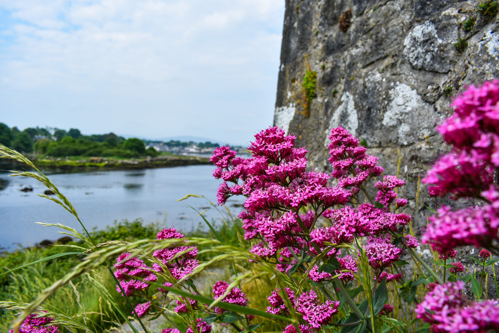 Vibrant pink flowers add a splash of color to the canvas surrounding Dunguaire Castle in Galway, Ireland.