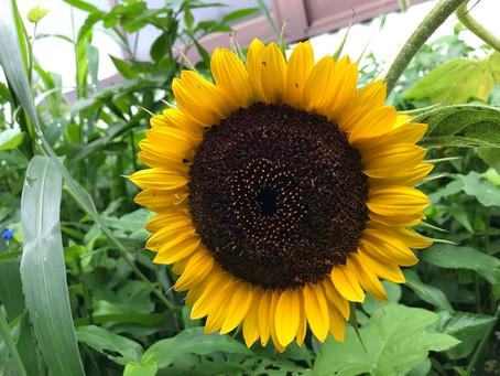 植物観察日記 向日葵-2 2021年7月15日