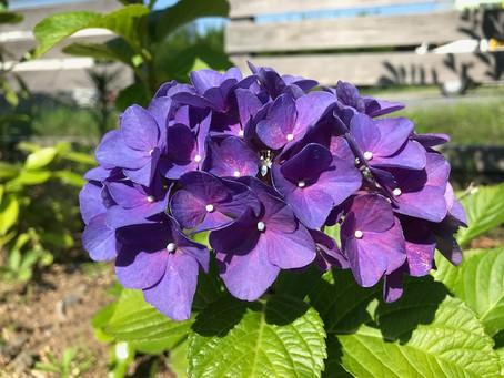 植物観察日記 2021年6月10日 紫陽花2021 パート2