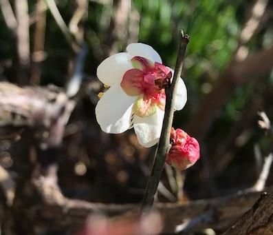 植物観察日記 2021年3月26日 花の後ろ姿から目標