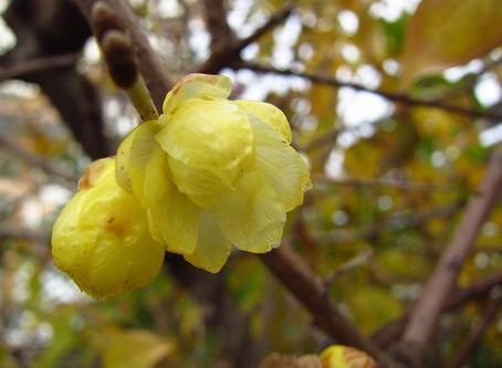 植物観察日記 蝋梅(ロウバイ)の花