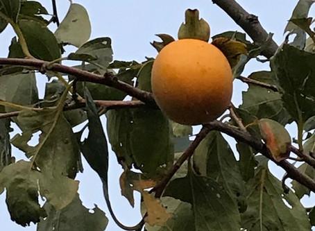 植物観察日記 2020年10月1日 柿
