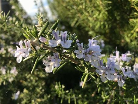 植物観察日記 2020年11月5日 ローズマリー花盛り