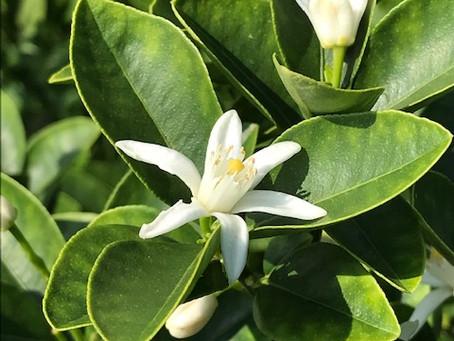 植物観察日記 2020年8月6日 金柑(キンカン)の花