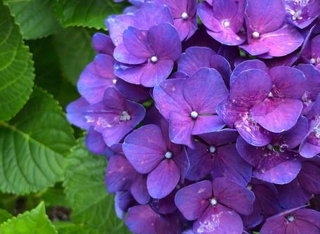 紫陽花&水分補給