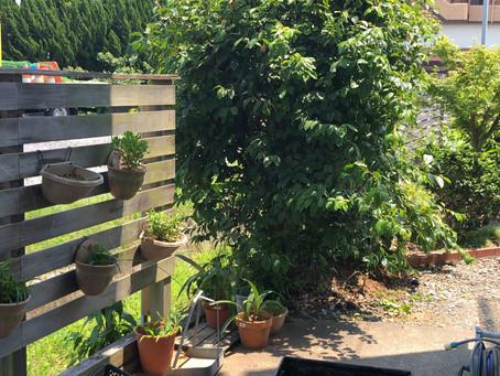 アクトカフェの小庭の花梨(カリン)