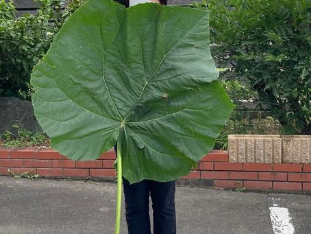 植物観察日記 成長が止まらない!?葉 2021年7月29日