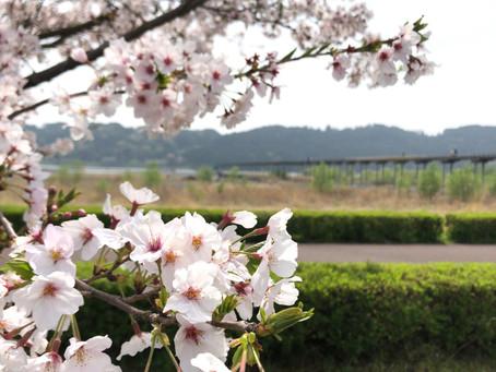 満開の桜/蓬莱橋・大井川川越遺跡・大津谷川/島田市