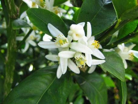 植物観察日記 金柑の香り 2021年8月19日