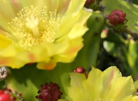 植物観察日記 2020年6月4日 サボテンの花