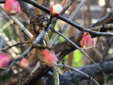 植物観察日記 2021年2月4日  開花が待ち遠しい