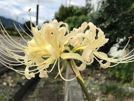 植物観察日記 2020年9月24日 白い曼殊沙華(彼岸花)