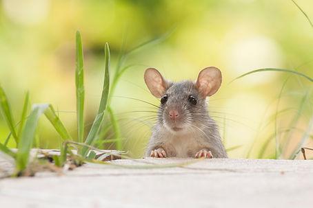 Rats outdoors yard home feeder.jpg