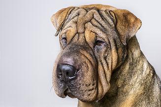 wrinkled dog shutterstock.jpg
