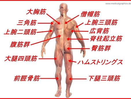 筋肉の名前と作用|筋トレで鍛える主な部位の名称と働きを解説