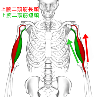 上腕二頭筋の筋トレメニュー|長頭・短頭の鍛え方