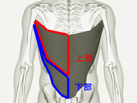 背筋群の筋トレメニュー|広背筋・僧帽筋・脊柱起立筋の鍛え方