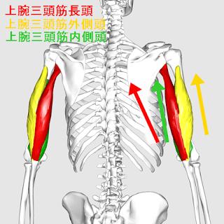上腕三頭筋の筋トレメニュー|長頭・短頭(内側頭・外側頭)の鍛え方