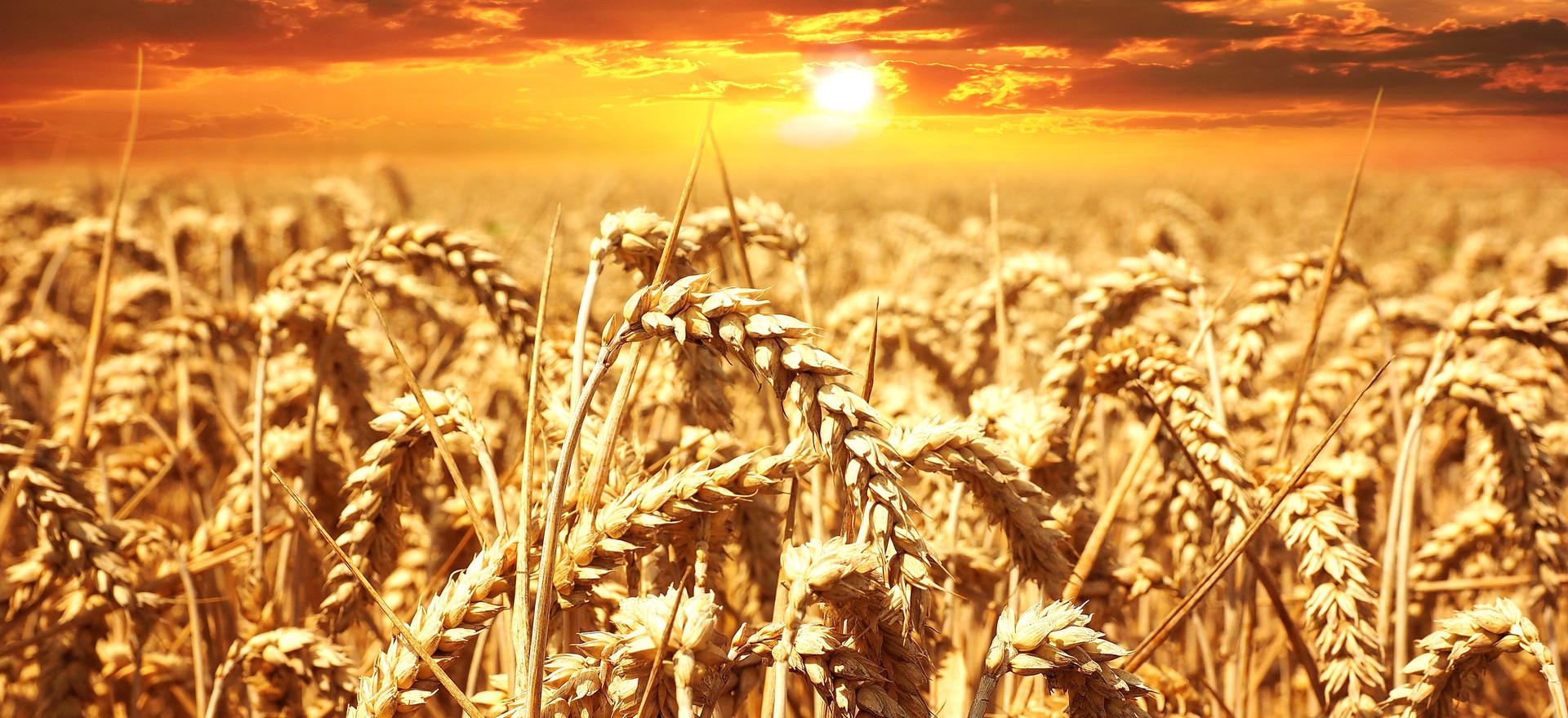 sunset-cereals-grain-lighting-39015.jpg