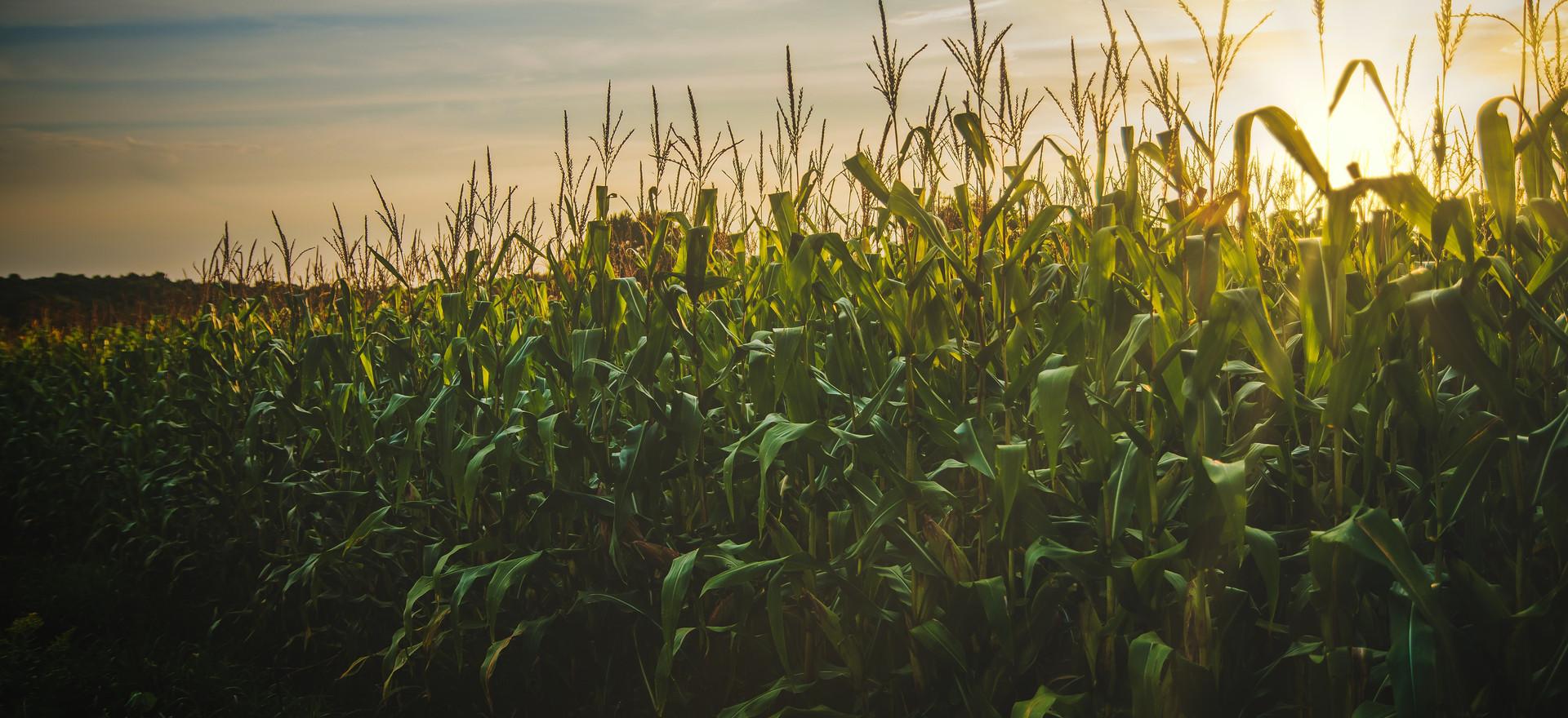 corn-field-1382102.jpg