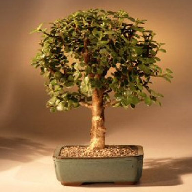 Bonsai Starter Kit Baby Jade Tree