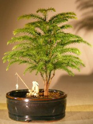 Norfolk Island Pine Bonsai Tree Land/Water Container - Small (Araucaria Heteroph