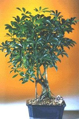 Hawaiian Umbrella Bonsai Tree Complete Starter Kit