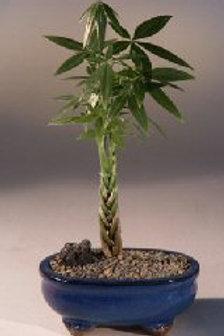 Braided Money Tree - Good Luck Bonsai Tree