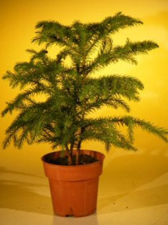 Norfolk Island Pine, Pre Bonsai