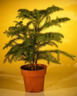 Norfolk Island Pine Pre Bonsai