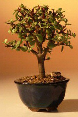 Baby Jade Bonsai Tree - Small (Portulacaria Afra)