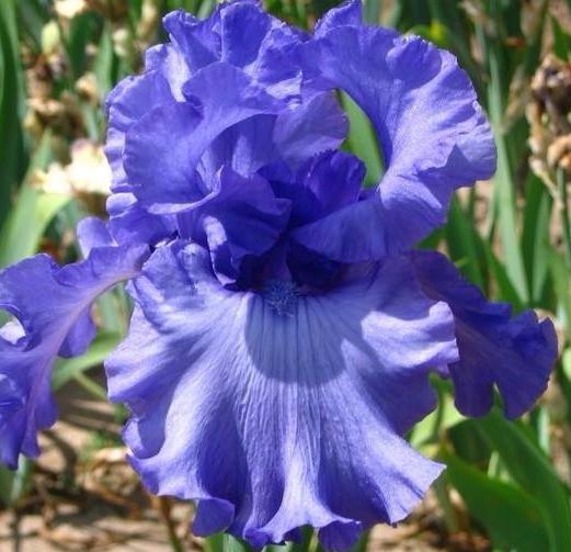 Crater Lake Blue Iris
