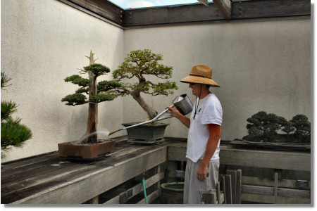 How to Properly Water a Bonsai from the United States National Arboretum