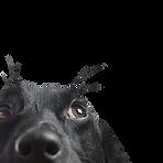 Primer de un perro Negro