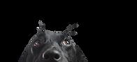 โคลสอัพของหมาดำ