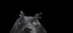 Close-up van een Black Dog