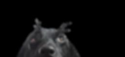 Close up de um cão preto