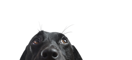 Крупный план Black Dog