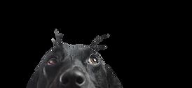 Gros plan d'un chien noir