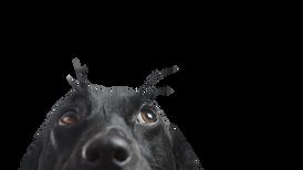 Novas informações sobre o cão de Hong Kong positivo para coronavírus