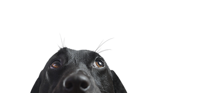 Closeup of a Black Dog