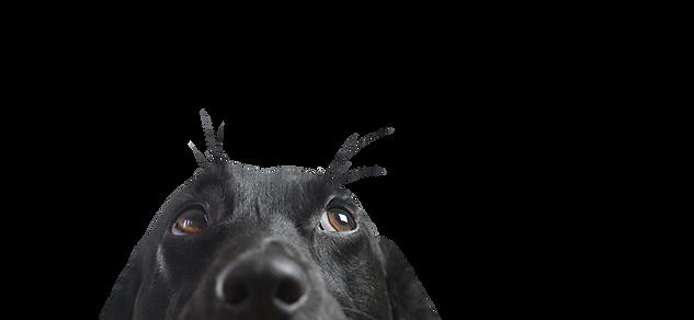 Nahaufnahme eines Black Dog