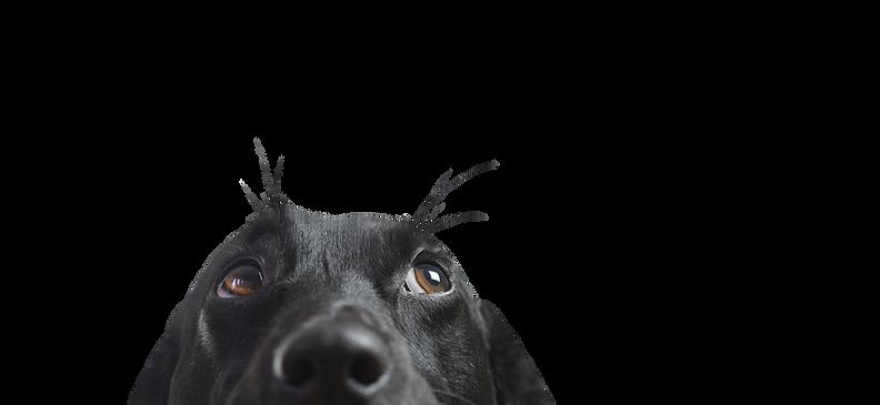 Primo piano di un cane nero